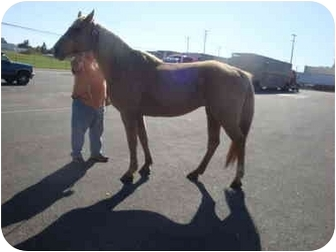 Tennessee Walking Horse Mix for Sale in Mystic, Connecticut - Savannah