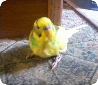 Budgie for Sale in Shawnee Mission, Kansas - Mallory
