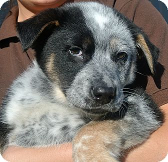 Cattle Dog Mix Puppy for Sale in white settlment, Texas - Jackson