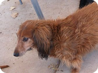 Dachshund Dog for adption in Queen Creek, Arizona - Oscar