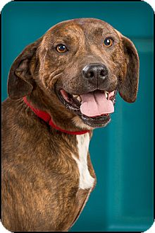 Boxer/Hound (Unknown Type) Mix Dog for Sale in Owensboro, Kentucky - Shifty