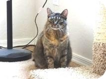 Manx Cat for Sale in Mesa, Arizona - Zeena