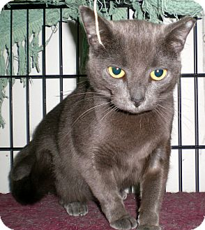 Russian Blue Cat for Sale in Troy, Michigan - Rusa
