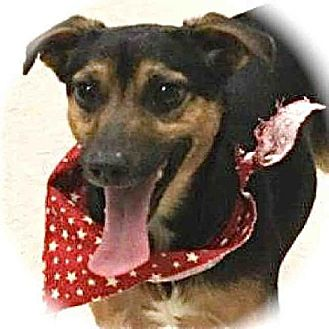 Chihuahua/Rat Terrier Mix Dog for adption in Lufkin, Texas - TOBY