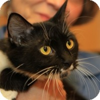 Domestic Mediumhair Cat for adoption in Albany, New York - Becca