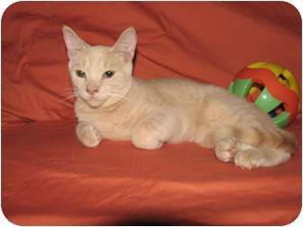 Domestic Shorthair Cat for adoption in Oxford, New York - DJ