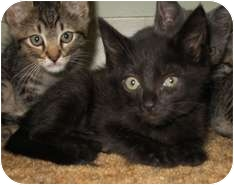 Domestic Shorthair Kitten for Sale in Shelton, Washington - Ebony