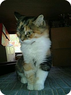 Calico Kitten for Sale in Acme, Pennsylvania - Doodlebug