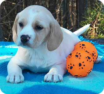 Beagle Mix Puppy for Sale in Sussex, New Jersey - Rosebud