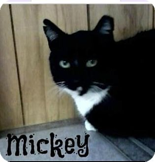 American Shorthair Cat for adoption in Shippenville, Pennsylvania - Mickey