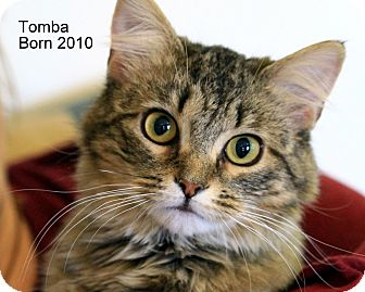 American Bobtail Cat for Sale in Gaithersburg, Maryland - Tomba