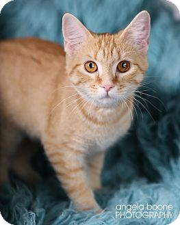 Domestic Shorthair Kitten for Sale in Eagan, Minnesota - Aurora