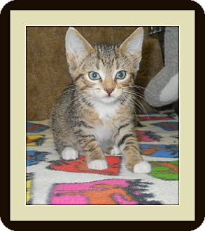Domestic Shorthair Cat for Sale in Medford, Wisconsin - BANDIT
