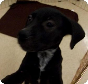 Labrador Retriever/Border Collie Mix Puppy for adption in Silsbee TX, Texas - Daryl