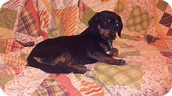 Dachshund/Chihuahua Mix Dog for Sale in Hazard, Kentucky - Freddie
