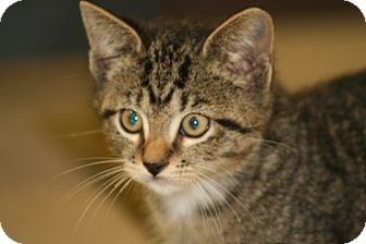 American Shorthair Kitten for Sale in Hagerstown, Maryland - Noha