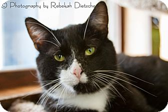Domestic Shorthair Cat for adoption in Grand Rapids, Michigan - Bubba