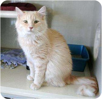 Domestic Mediumhair Cat for adoption in Fort Collins, Colorado - Oliver