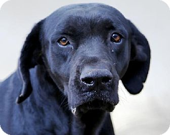 Labrador Retriever Mix Dog for adption in Huntersville, North Carolina - Andy