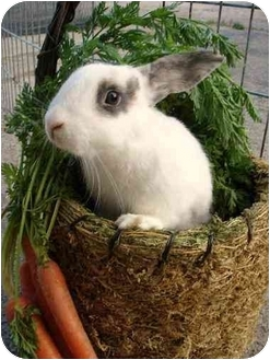 Other/Unknown for adoption in Plymouth, Michigan - Midwest Rabbit Rescue &amp; Re-home