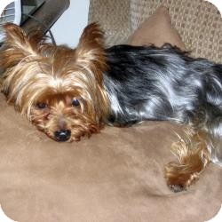 Yorkie, Yorkshire Terrier Mix Dog for Sale in Goodyear, Arizona - Cody (a.k.a. Heart Thumper)