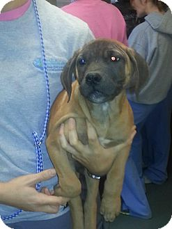 Mastiff Mix Puppy for Sale in manasquam, New Jersey - Moe