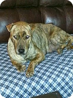 Shar Pei/Staffordshire Bull Terrier Mix Dog for Sale in Phoenix, Arizona - Maya