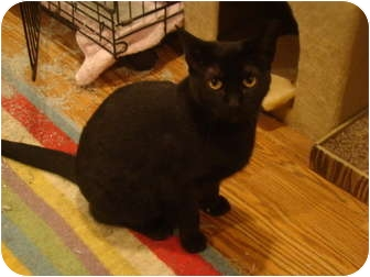Domestic Shorthair Cat for adoption in Muncie, Indiana - Rosa