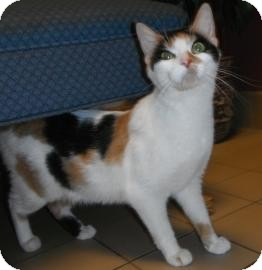 Calico Cat for Sale in Jackson, Michigan - Genie