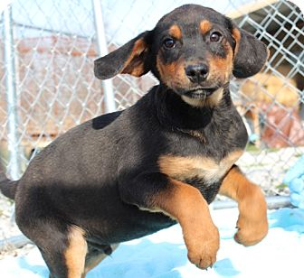 Black and Tan Coonhound/Australian Shepherd Mix Puppy for Sale in Brattleboro, Vermont - Cornbread