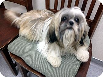 Shih Tzu Dog for Sale in Los Angeles, California - AMELIA