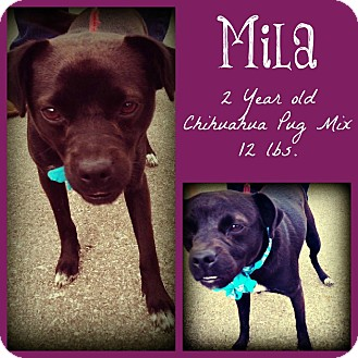 Chihuahua/Pug Mix Dog for Sale in San Antonio, Texas - Mila