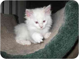 Manx Kitten for Sale in Lethbridge, Alberta - Hannah