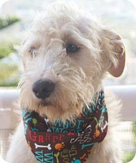 Terrier (Unknown Type, Medium)/Lakeland Terrier Mix Dog for Sale in San Diego, California - Leo
