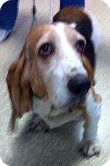 Basset Hound Mix Dog for Sale in Loudonville, New York - Thelma