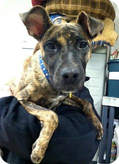 Shepherd (Unknown Type)/Greyhound Mix Dog for Sale in North Olmsted, Ohio - Rory