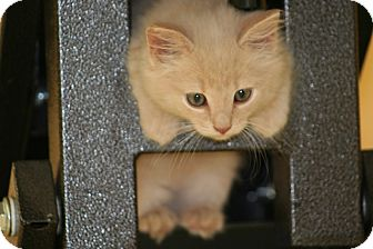 American Shorthair Kitten for Sale in Spring Valley, New York - Spirit