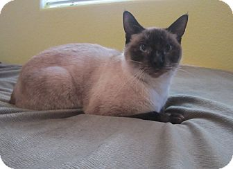 Siamese Cat for Sale in Vacaville, California - Elsie