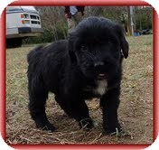 Bearded Collie/Labrador Retriever Mix Puppy for Sale in Allentown, Pennsylvania - Lana Loo