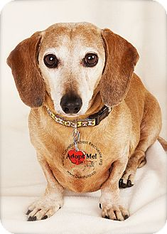 Dachshund Dog for adption in Denver, Colorado - Bo