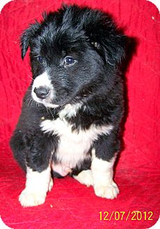 Border Collie Mix Puppy for Sale in Sherman, Connecticut - Bruce Betty's Dog
