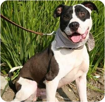 American Staffordshire Terrier/American Bulldog Mix Dog for adption in ...