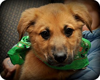 German Shepherd Dog/Golden Retriever Mix Puppy for Sale in Sparta, New Jersey - Godwin