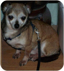 Chihuahua Dog for adption in Clear Lake, Washington - Gucci