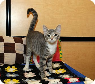 Domestic Shorthair Kitten for Sale in Farmingdale, New York - Jazzy