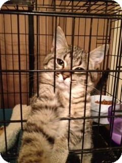 Domestic Shorthair Kitten for Sale in Wenatchee, Washington - Timmy