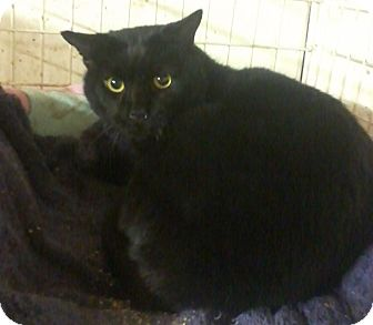 Domestic Shorthair Cat for adoption in Salem, New Hampshire - Patrick