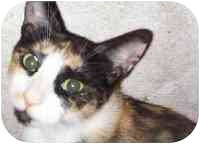 Calico Cat for adoption in New York, New York - Marshmallow Cream