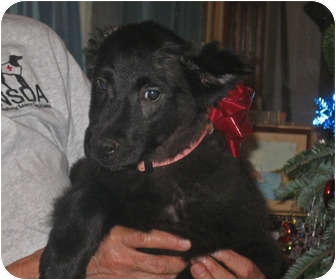 Shepherd (Unknown Type)/Collie Mix Puppy for Sale in Molena, Georgia - Leita