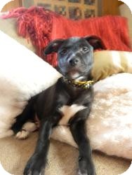 Labrador Retriever Mix Puppy for Sale in Marlton, New Jersey - Baby Abby